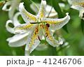 林間に咲くヤマユリの花とカマキリ 41246706