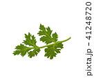パクチー 香菜 ハーブのイラスト 41248720