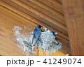 ツバメの子育て つばめの巣で餌を与える親鳥 41249074