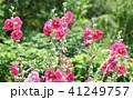 タチアオイ 花 ピンクの写真 41249757
