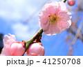 花桃と青空 41250708