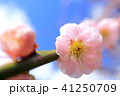 花桃と青空 41250709