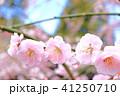 花桃と青空 41250710
