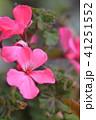 ゼラニウム 植物 花の写真 41251552