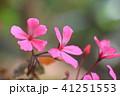 ゼラニウム 植物 花の写真 41251553