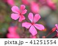 ゼラニウム 植物 花の写真 41251554