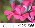 ゼラニウム 植物 花の写真 41251566