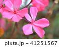 ゼラニウム 植物 花の写真 41251567