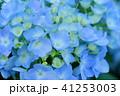 花 紫陽花 あじさいの写真 41253003