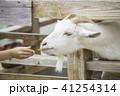 柵から顔を出してエサをもらうヤギ 41254314