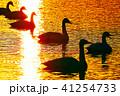 朝焼けの白鳥、(朝日に染まるコハクチョウ) 41254733