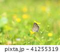 シジミチョウ 蝶 昆虫の写真 41255319