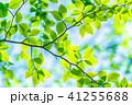 新緑 初夏 若葉の写真 41255688