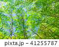 新緑 初夏 若葉の写真 41255787