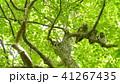 新緑の中のエゾフクロウの親子 41267435