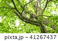 新緑の中でこちらを見ている二羽のエゾフクロウの赤ちゃん 41267437