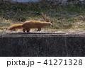 走るイタチ2 - Running weasel 41271328