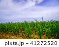 波照間島 サトウキビ畑 サトウキビの写真 41272520