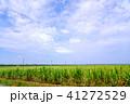波照間島 サトウキビ畑 サトウキビの写真 41272529