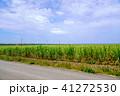 波照間島 サトウキビ畑 サトウキビの写真 41272530