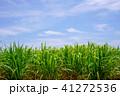 波照間島 サトウキビ畑 サトウキビの写真 41272536