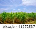 波照間島 サトウキビ畑 サトウキビの写真 41272537