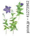 キキョウ 植物 花のイラスト 41273962
