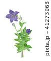 キキョウ 植物 花のイラスト 41273963