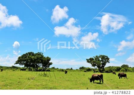 沖縄 竹富島の水牛と長閑な風景 41278822