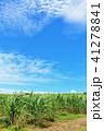 青空 晴れ サトウキビ畑の写真 41278841