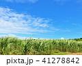 青空 晴れ サトウキビ畑の写真 41278842