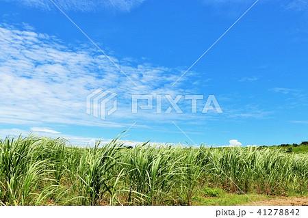 沖縄 青空のサトウキビ畑 41278842