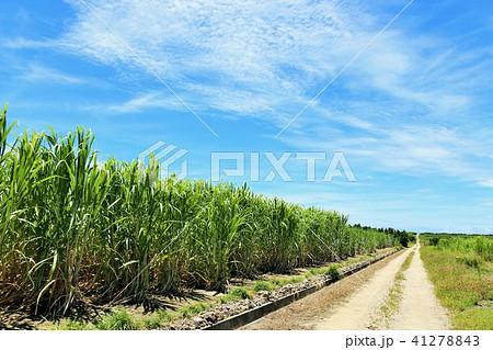 沖縄 青空とサトウキビ畑 41278843