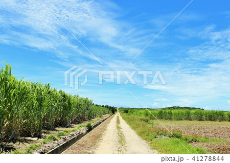 沖縄 青空とサトウキビ畑 41278844