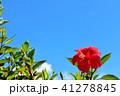 沖縄 青空とハイビスカス 41278845