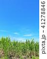 青空 晴れ サトウキビの写真 41278846