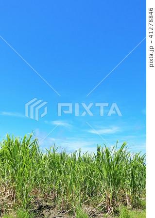 沖縄 青空のサトウキビ畑 41278846