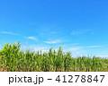 青空 晴れ サトウキビの写真 41278847