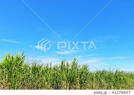 沖縄 青空のサトウキビ畑 41278847