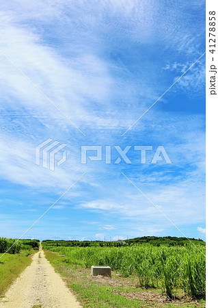 沖縄 青空とサトウキビ畑 41278858