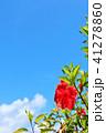 沖縄 青空とハイビスカス 41278860