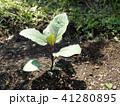 茄子の苗 41280895