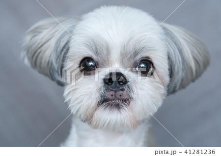 Cute shih-tzu dog 41281236