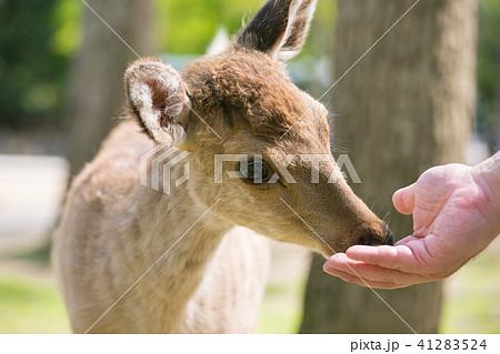 鹿せんべいを食べる鹿 41283524