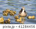 カルガモ親子が池でお散歩 41284456