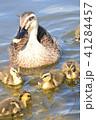 カルガモ親子が池でお散歩 41284457