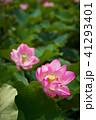 ハス スイレン 蓮の写真 41293401