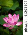 ハス スイレン 蓮の写真 41293402