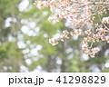 桜 春 開花の写真 41298829
