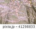 桜 春 開花の写真 41298833